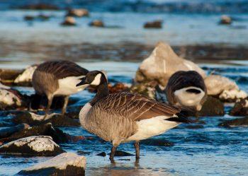 canada-goose-210173