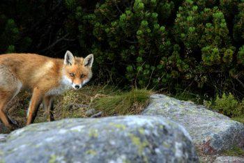 fox-1419370