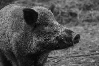 wild-boar-1797731__340