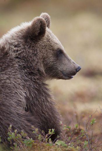 Skottet mot björnen utreds inte