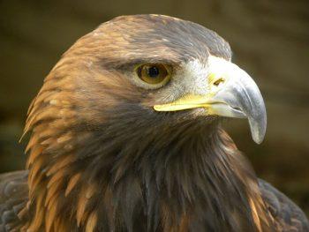 golden-eagle-eagle-1487227