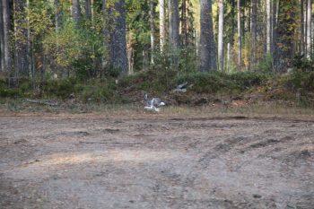 Upptäckt fall av gulsot hos skogshare i Sverige