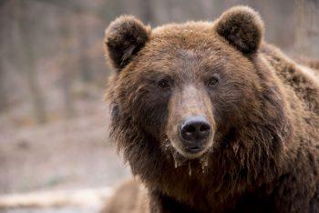 28 björnar får skjutas i Västerbotten